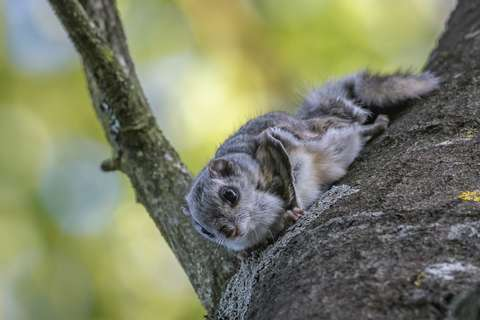 Lähikuva liito-oravasta puun rungolla.
