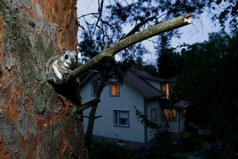 Liito-orava istuu männyn oksalla, taustalla näkyy omakotitalo.